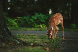 ciervo pastando Bambi